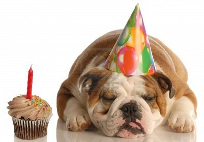... dog, dog, english bulldog, bulldog, cup cake, birthday, cute, funny